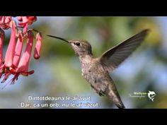 Anna's Hummingbird - ID: 1240059 © Janine Russell Hummingbird Flowers, Bing Images, Photoshop, My Love, Animals, Hummingbirds, Google Search, Tattoos, Youtube