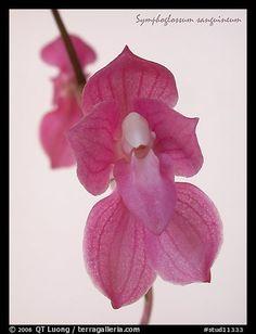 Orchid: Symphoglossum sanguineum