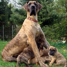 """Here you go! A pile of brindle Great Dane puppies with their proud mother! Posted by <a href=""""http://thebestofthebigdogs.tumblr.com/post/73136513531"""">the best of the big dogs</a> on Tumblr."""