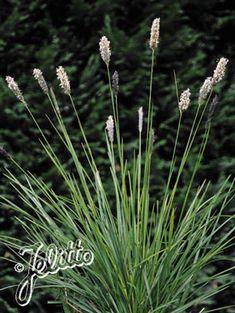 Sesleria argentea - Silver Moor Grass
