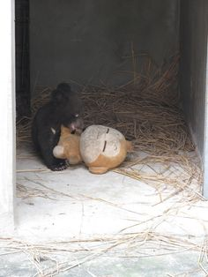 Rescued Moon Bear Baby Thrives After Her Home at a Bile Farm Converts to A Bear Sanctuary