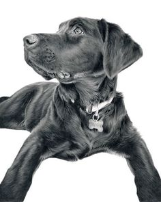 Dogs in Art at the StockBridge Gallery -  Black on White Print of Black Labrador Drawing by Laura Hardie, $143.51 (http://www.dogsinart.com/products/-Black-on-White-Print-of-Black-Labrador-Drawing-by-Laura-Hardie.html)