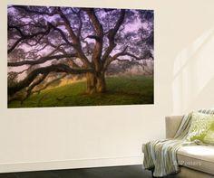 Majestic Wild Oak, Petaluma, California Wall Mural by Vincent James at AllPosters.com