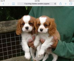 Get Cavalier King Charles Spaniel Puppies in best condition in India. Imported King Charles spaniel puppies are available for sale in DelhiNCR Spaniel Puppies For Sale, Cute Puppies, Cute Dogs, Puppies Puppies, Terrier Puppies, Cute Small Dogs, Teacup Puppies, King Charles Puppy, Cavalier King Charles Dog