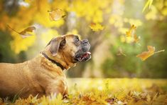 Download wallpapers Boxer, 4k, cute dog, lawn, pets, autumn, dogs, Boxer Dog