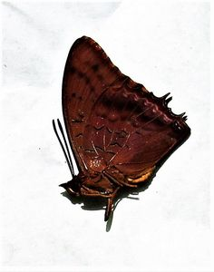 Lot of 20 Violet-washed Charaxes Butterfly Charaxes lucretius ssp Male Folded