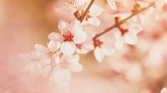 Wallpaper: http://desktoppapers.co/mp02-spring-flower-sullysully-cherry-blossom-nature/ via http://DesktopPapers.co : mp02-spring-flower-sullysully-cherry-blossom-nature