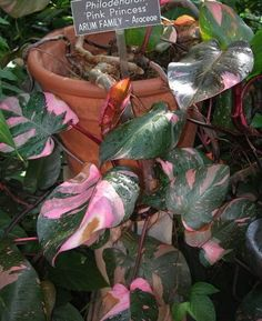 Philodendron 'Pink Princess' (Philodendron erubescens).