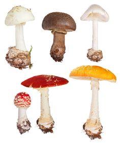 Amaniet of Ama-nooit-niet? | Gerard Koopmanschap - Paddenstoelenjager Fungi, Wonders Of The World, Stuffed Mushrooms, Herbs, Vegetables, Cooking, Food, Stuff Mushrooms, Cuisine