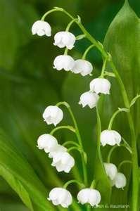 Lilies of the Valley always make me think of my Grandma Mounkes...