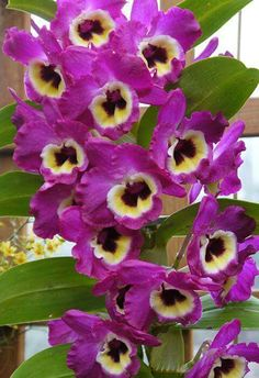 Min nye orkide The Orchid Column: How to Grow Dendrobium nobile Orchid Plants, Exotic Plants, Exotic Flowers, Tropical Flowers, Amazing Flowers, Beautiful Flowers, Purple Flowers, Dendrobium Nobile, Orchid Varieties