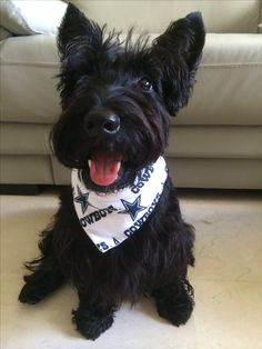 Pickles the Scottish Terrier.          ••••(KO) Pickles is rather precious!