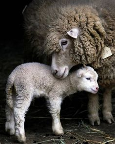 AWWW, So sweet! Content in a Cottage always has the best animal photos! That mother really loves her little lamb.