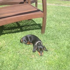 Meg - Miniature Black and Tan Dachshund