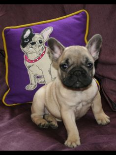 Greta Garboux, the adorable French Bulldog Puppy