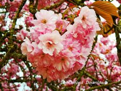 Cherry Blossom Art Nature Prints Digital by OxfordDownloads