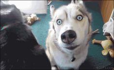 Funny husky gif