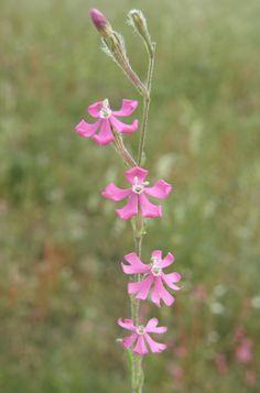 silene bellidifolia. Hierba anual con tallos erectos, simples o ramificaciones solo en la mitad superior. Crece en pastizales sobre suelos ácidos. Florece en mayo-junio.