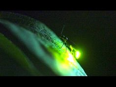 In A Flash: Firefly Communication - YouTube, information, on species and communication of fireflies, refers to Firefly Watch (see MOS)--an effort to count fireflies to learn more about the population