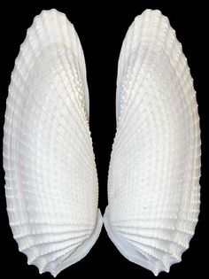 Pair of Angle Wing Shells