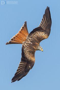 Week in wildlife: Red kites, Wales - 05 Mar 2013 Raptor Bird Of Prey, Birds Of Prey, Animals And Pets, Cute Animals, Red Kite, Red Tailed Hawk, Mundo Animal, Wild Birds, Bird Watching