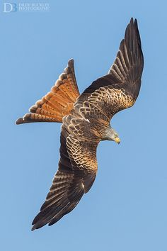 Red Kite Diving- Awesome !