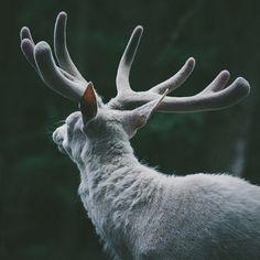 deer, white, and animal image Narnia, Skyrim, The Grisha Trilogy, Grey Warden, Dragon Age Inquisition, Throne Of Glass, Princess Mononoke, Character Aesthetic, Albino