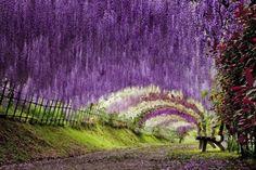 Kawachi Fuji Garden, Kitakyushu, Japan日本河內富士花園紫藤花隧道. 初春的櫻花之後,就是紫藤的季節。每年4到5月,日本九州市河內富士花園會出現一項壯麗奇觀