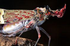 Phrictus quinquepartitus, fulgorid hopper