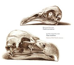 The Unfeathered Bird: An Illustrated History of Avian Anatomy – Brain Pickings Bird Drawings, Animal Drawings, Drawing Faces, Skull Reference, Pose Reference, Skeleton Anatomy, Wings Drawing, Digital Painting Tutorials, Digital Paintings