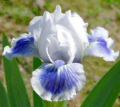 Iris BIG BLUE EYES