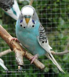 www.parkieten-online.nl budgies,  birdsbreeding, parakeets, lovebirds, parkieten, grasparkieten,   broedblok, vogels kweken, broedkooi, aviarybirds, volièrevogels, bonte parkieten, pluimvee, fowl, kweekkooi, birds, vogels, eggs, eieren, broeden, budgielovers, kooivogels, cockatiel, valkparkiet, zebravinken, bourkeparkieten, zebra finches, java sparrow, agapornissen, finches, pigeon, dove, duiven, goose, ganzen, ducks, eenden.