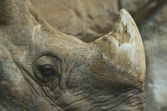 No, Legalizing Rhino Horn Probably Won't Save Animals from Poaching