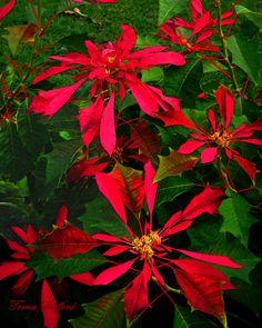 Hawaiian Poinsettia - Christmas Flower - Gallery Wrapped Canvas Giclee Print -Maui - Photography by TerisFineArtGallery on Etsy