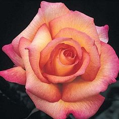 Sheila's Perfume Rose,  Yellow brushed with deep pink, well-formed blossoms with a rosy fragrance. Vigorous and free-flowering on medium height, rounded bush.  Witherspoon Rose Culture