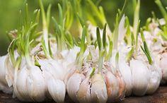 thực phẩm mọc mầm nào không ăn được, thực phẩm mọc mầm nào ăn đươc, akchongungthu