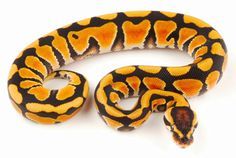 Royal Ball Python, Desert Morph Python regius. This non-venomous python species is found in Africa. The smallest of the African pythons, it is known for its docile temperament. There are several colour morphs, including the desert morph shown above. © Dan Wolfe, DWHerp.com