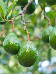 Today we launched our online Cook-Off at eGullet, The Avocado-Finding new popularity in the kitchen. Home Depot, Vitamins For Energy, Avocado Tree, Mango Tree, Tropical Fruits, Garden Club, Growing Tree, Health And Wellbeing, Fruit Trees