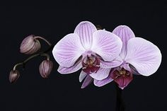 Orchid, Flower, Blossom, Bloom, Bud