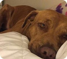 New York, NY - Pit Bull Terrier Mix. Meet Hope, a dog for adoption. www.adoptapet.com...