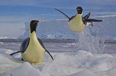 Pinguino emperador escapa de una foca leopardo - Emperor penguin flees Leopard seal