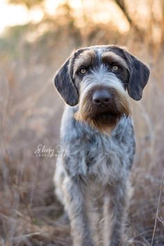 Some of the things I admire about the The Sporty German Shorthaired Pointer Dogs Wirehaired Pointing Griffon, German Wirehaired Pointer, Pointer Puppies, Pointer Dog, I Love Dogs, Cute Dogs, Purebred Dogs, Large Dog Breeds, Hunting Dogs