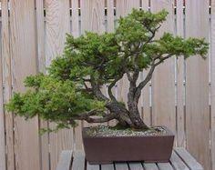 Great looking Bonsai Bonsai Ficus, Bonsai Plants, Plantas Bonsai, Closer To Nature, Green Art, Ikebana, Leaves, Landscape, Gardening