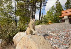 https://flic.kr/p/nDSH6x | Golden Mantled Ground Squirrel