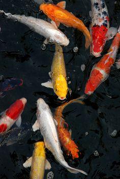 Fish Chart, Koi Painting, Koi Art, Koi Fish Tattoo, Carpe, Koi Fish Pond, Japanese Koi, Beautiful Fish, Aesthetic Drawing