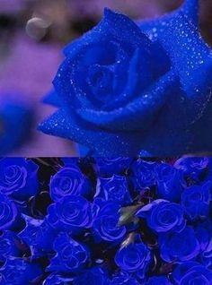 Blue Roses Wallpaper, Colorful Wallpaper, Colorful Flowers, Blue Flowers, Wedding Pins, Wedding Stuff, Wedding Ideas, Purple Roses, Beautiful Roses
