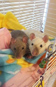 Every morning they lie in wait for treats. #aww #cute #rat #cuterats #ratsofpinterest #cuddle #fluffy #animals #pets #bestfriend #ittssofluffy #boopthesnoot