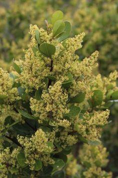 Rhus/Searsia Lucida in flower             Glossy Taaibos          Blinktaaibos         3-7 m      S A no 381,1            (Tony Rebelo)
