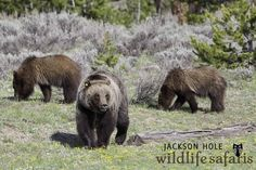 Grizzly 610 and cubs in Grand Teton National Park, Jackson Hole Wyoming.