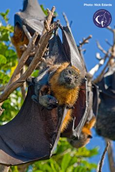 Grey-headed Flying fox and pup